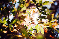 Sun in leaves Royalty Free Stock Photo