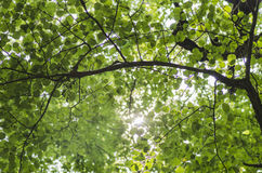 The sun through the leaves Royalty Free Stock Photography