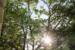 Sun through the leaves of a tree Stock Image