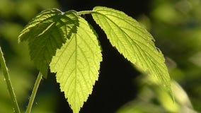 Sun through leaves. stock video