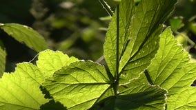 Sun through leaves. stock footage