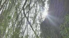 Sun Lens Flare from behind Weeping Willow Tree Trunk. Medium long low angle high dynamic range shallow depth of field panning tracking slider shot of the sun stock footage