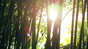 Sun lens flare effect and sun light rays through bamboo trees stock video footage