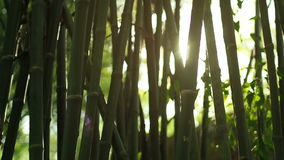 Sun lens flare effect and sun light rays through bamboo trees stock video