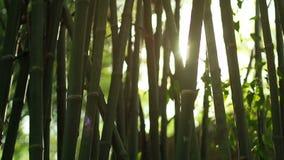 Sun lens flare effect and sun light rays through bamboo trees. Bright sun lens flare effect and sun light rays through bamboo tropical forest stock video