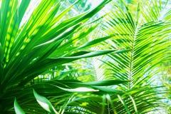 Sun-Licht durch Palme verzweigt sich tropischer Sommer-Hintergrund Stockfoto