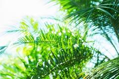 Sun-Licht durch Palme verzweigt sich tropischer Sommer-Hintergrund Lizenzfreie Stockfotografie