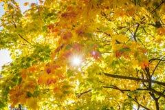 Sun-Lichtstrahl durch Herbstblätter Stockbild