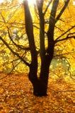 Sun-Lichtstrahlen auf einem Herbstbaum Stockfotografie
