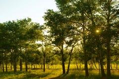 Sun-Lichtstrahlen durch Bäume Stockfotos
