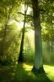 Sun-Lichtstrahlen durch Bäume Lizenzfreies Stockfoto