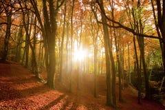 Sun-Lichtstrahlen durch einen Herbstwald. Lizenzfreie Stockfotografie