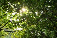 Sun-Lichtstrahlen im Wald Stockfotos