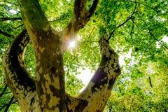Sun-Lichtstrahlen im Wald Stockbilder