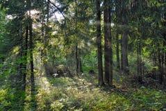 Sun-Lichtstrahlen Shine durch Bäume lizenzfreie stockfotografie