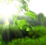 Sun-Lichtstrahlen und Grünblätter Stockbild