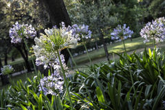 Sun light on the Agapanthus africanus Royalty Free Stock Photography