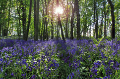 Sun light casting shadows through Bluebell woods, Badby Woods Northamptonshire Royalty Free Stock Photos
