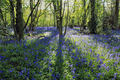 Sun light casting shadows through Bluebell woods, Badby Woods Northamptonshire Royalty Free Stock Images