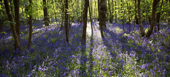 Sun light casting shadows through Bluebell woods, Badby Woods Northamptonshire Royalty Free Stock Image