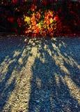 Sun filtering through colored leaves. Sun light filtering through colored leaves in autumn, nature versus asphalt stock photos