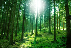Sun light in the forest. Morning sun light in the green forest Royalty Free Stock Photos