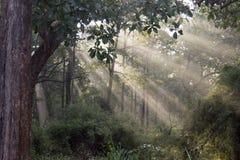 Sun light through forest Stock Images
