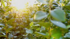 Sun rays seep through foliage and fluff fly around at summer day stock footage