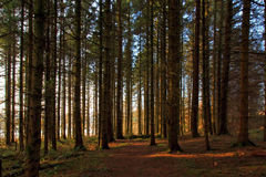 Sun light high lighting path through the forest Royalty Free Stock Photos