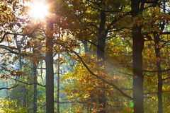 Sun light through leafage in autumn. Forest Royalty Free Stock Photo