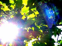 Sun light glare. Sun light through maple tree leaves with lens glare Stock Image