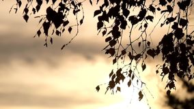 Sun light passing through mist and branches on birch tree with last colorful leaves stock video
