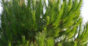 Sun light pine on blue sky background 4k spain. Spain sun light pine on blue sky background 4k stock video footage