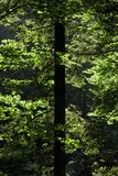 Sun light playing with forest tree leafs. Sun light playing with tree leafs royalty free stock photo