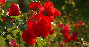 Sun light red rose 4k spain stock video footage