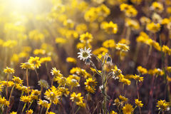 Sun light shining on a field of yellow flowers Stock Photography