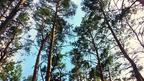 Sun light shining through pine trees branches. Walking through pine forest and looking up to top of trees. Shot using an. A camera crane stock footage