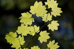 Sun light shinning through sycamore leaves Stock Images