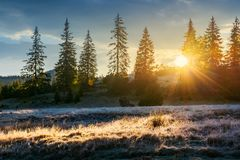Sun light through tall spruce trees on the hill. Back lit meadow with frozen grass. gorgeous autumn sunrise in mountains royalty free stock photography