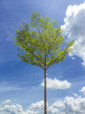 Sun Light on a Tall Tree with Green Leaves Stock Images