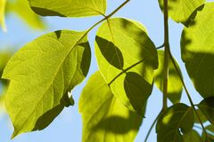 Free Sun Light Through Fresh Green Leaves With Sky Background Stock Images - 183755634