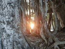 Sun under tree roots royalty free stock image