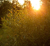 Sun light through trees Royalty Free Stock Photo