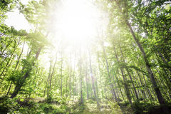 Sun light between the trees Royalty Free Stock Photo