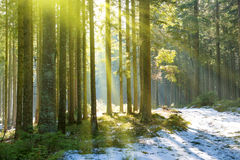Sun light in the winter forest Stock Images