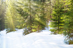 Sun light in the winter forest Royalty Free Stock Images