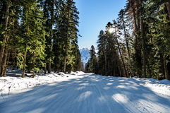 Sun light in the winter forest with white fresh snow and pine trees Royalty Free Stock Photo