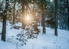 Sun light in the winter forest with white fresh snow and pine trees Stock Photo