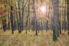 Sun light in young oak forest Stock Images