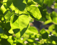Sun lighted leaves royalty free stock photo